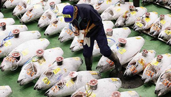 10月11日,东京丰洲水产市场,一名中间批发商在检查供拍卖的金枪鱼。图片来源:视觉中国