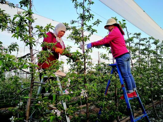 灵台县独店镇民鑫农场工人正在为苹果树疏花