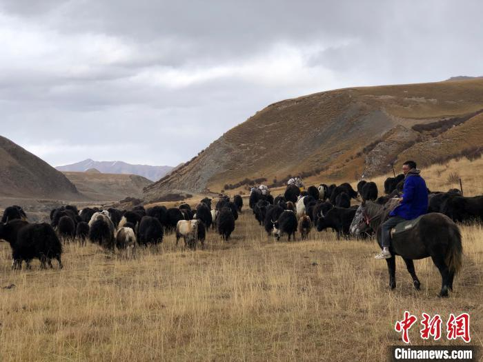 资料图:青海南部高寒牧区牦牛养殖。 罗云鹏 摄